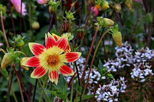Dahlia, Blossom, Bloom, Nature, Plant, Autumn