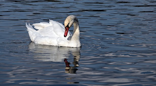 Swan, Water, Nature, Texture, Background, Template