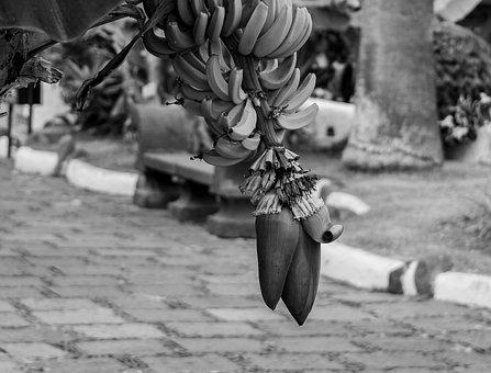Banana, Fruit, Food, Plant, Tropical, Banana Plant