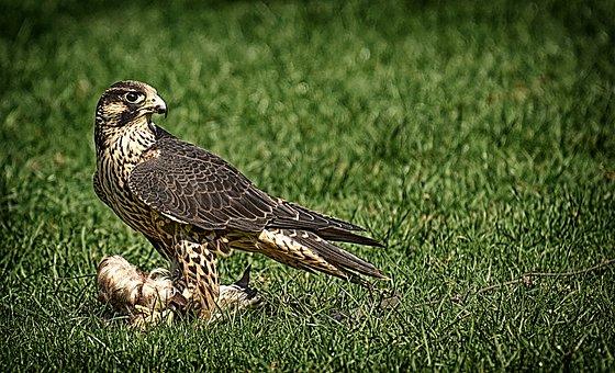 Falcon, Bird, Prey, Raptor, Bird Of Prey, Animal