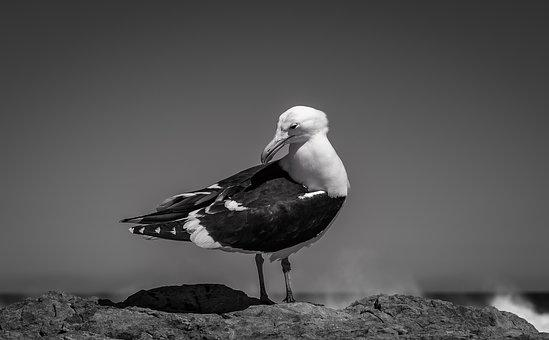 Seagull, Sea, Black And White, Bird, Water, Flying