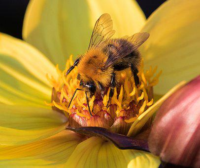 Bee, Animal, Insect, Flower, Blossom, Bloom