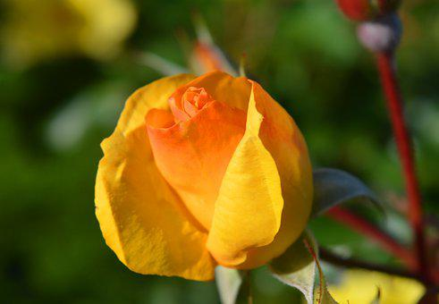 Rose, Blossom, Bloom, Yellow, Close Up, Nature, Beauty