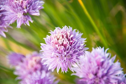 Ornamental Onion, Leek, Blossom, Bloom, Plant, Flower