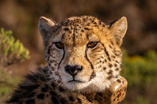 Cheetah, Wildcat, Africa, Predator, Big Cat, Wild, Cat