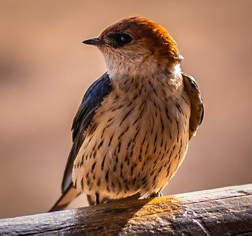 Bird, Schwalbe, Close Up, Iridescent, Africa