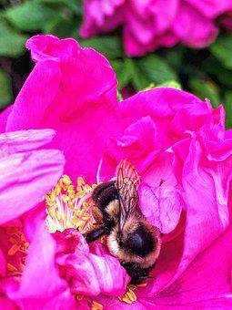 Bee, Rose, Garden, Pink, Black And Yellow, Closeup