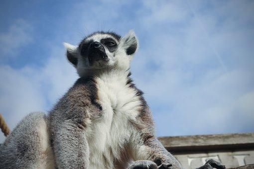 Lemur, Sky, Monkey, Eyes, Photoshop, Conspiracy