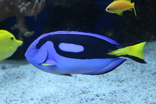 Pallet Doctor Fish, Surgeonfish, Fish, Coral Reef