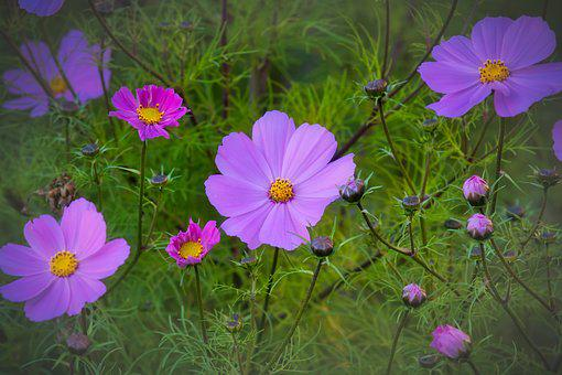 Cosmos, Cosmea, Beauty, Blossom, Bloom, Purple