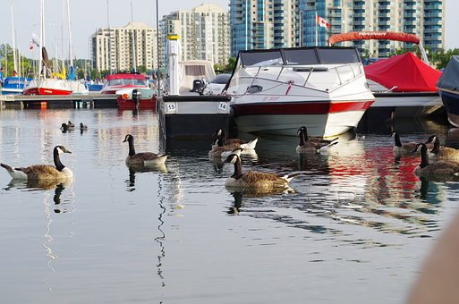 Goose, Geese, Bird, Animal, Creature, Boat, Harbour