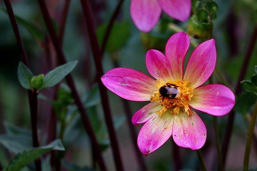 Dahlia, Hummel, Blossom, Bloom, Nature, Plant, Autumn