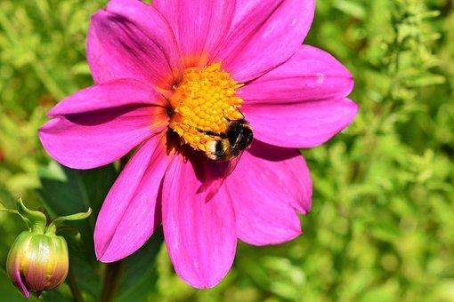 Dahlia, Blossom, Bloom, Hummel, Insect, Flower, Plant