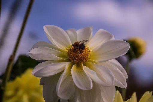 Blossom, Bloom, Dahlia, Flower, Bee, Plant, Flora