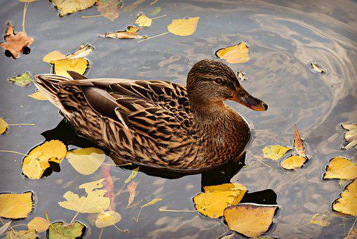Mallard, Duck, Dabbling, Female, Water Bird, Swimming