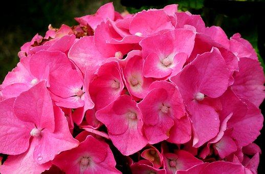 Flower, Hydrangea, Garden, Pink, Beautiful, Summer