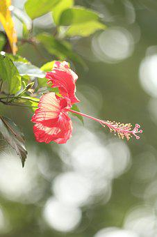 Hibiscus, Flower, Bloom, Malvaceae, Mallow, Blossom