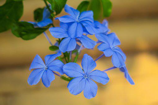 Blue Flower Dan, Flower, Plant, Nature, Bloom