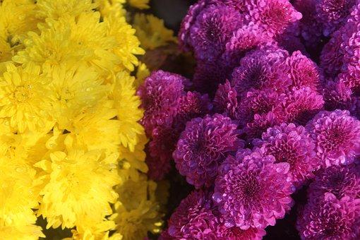 Mums, Purple, Yellow, Flowers