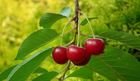 Cherries, Fruit, Sprig, Summer, Fresh, Vitamins, Nature