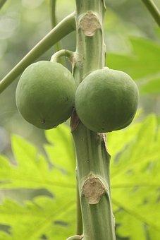 Papaya, Fruits, Fruit, Nutrition, Healthy, Fresh, Feed