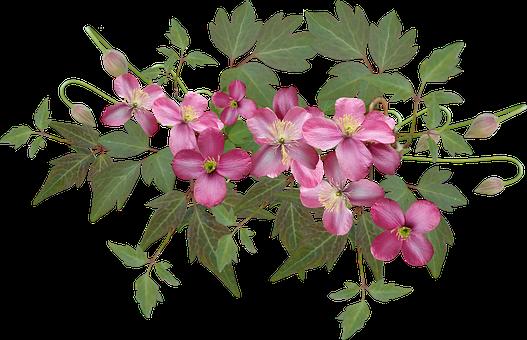 Clematis, Pink, Flowers, Climber, Garden, Nature