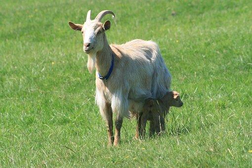 Goat, Golden Guernsey Goat, Goat Feeding Kid