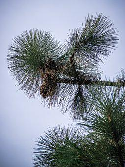 Needles, Pine, Green, Tree, Nature, Branch, Conifer