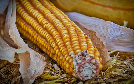 Corn, Corn On The Cob, Yellow, Food, Harvest, Healthy