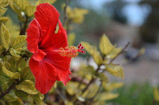 Blossom, Bloom, Hibiscus, Malvaceae, Mallow, Flower