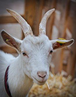 Billy Goat, White, Horns, Bock, Domestic Goat