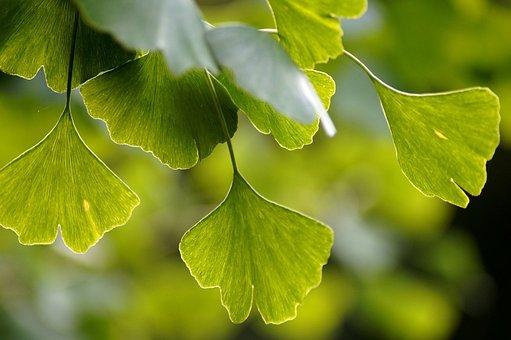 Gingko, Leaves, Green, Leaf, Branch, Nature, Japan