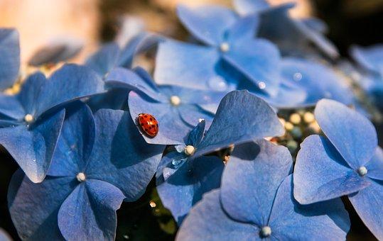 Hydrangea, Ladybug, Insect, Bloom, Leaf
