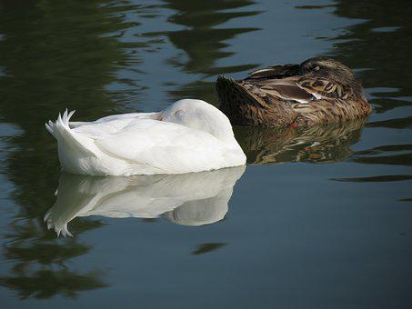 Ducks, Lake, Reflection, Sleeping, Morning, Summer