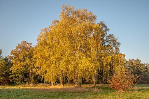 Autumn, Birch, Deciduous Tree, Leaves, Golden