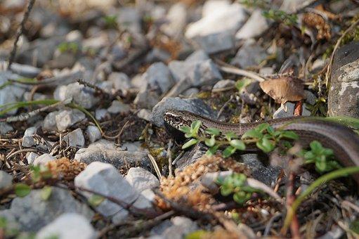 Slow Worm, Lizard, Reptile, Nature, Animal