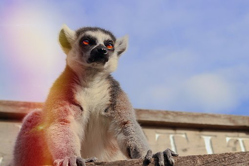 Lemur, Monkey, Animal, Cute, Animal World, Zoo, Head