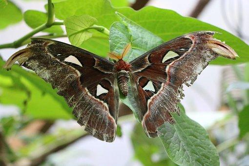 Atlas Moth, Butterfly, Motte, Spinner, Moth, Exotic