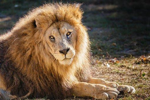 Lion, Nature, Animal, Zoo, Feline, Animal King