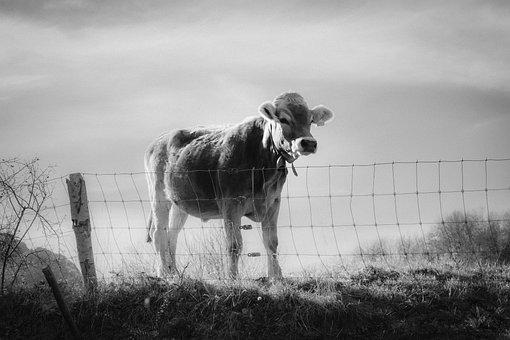 Cow, Nature, Animal, Grass, Meadow, Livestock