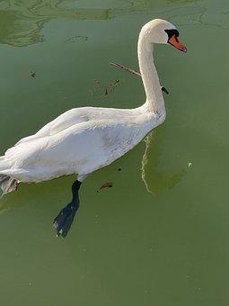 Swan, Swans, Water, Bird, Animal, Nature, Lake