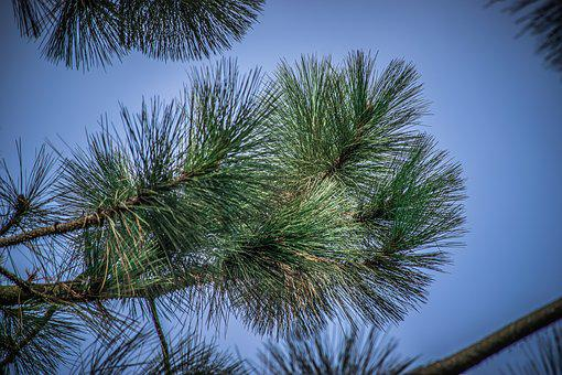Nature, Needles, Green, Pine, Forest, Tree, Branch