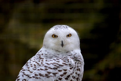 Owl, Snow Owl, Animal, Bird, Nature, Animal World