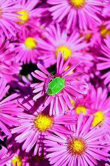 Pink, Pink Chrysanthemum, Bedbugs, Beetle, Green Beetle