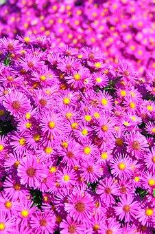 Pink, Pink Chrysanthemum, Bloom, Flower, Blooms At