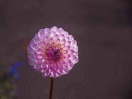 Dahlia, Flower, Blossom, Bloom, Plant, Flora