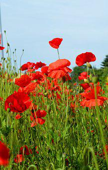 Poppies, Plant, Red, Summer, Blue Sky