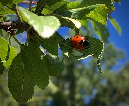 Ladybug, Beetle, Summer, Insect, Points, Lucky Charm