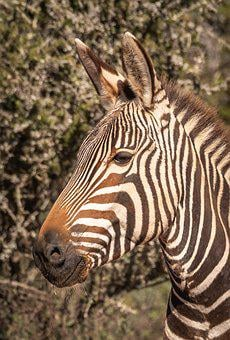 Zebra, Portrait, Head, Striped, Close Up, Face, Animal
