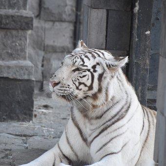 Tiger, White, Nature, Predator, Tawny, Noble, Portrait